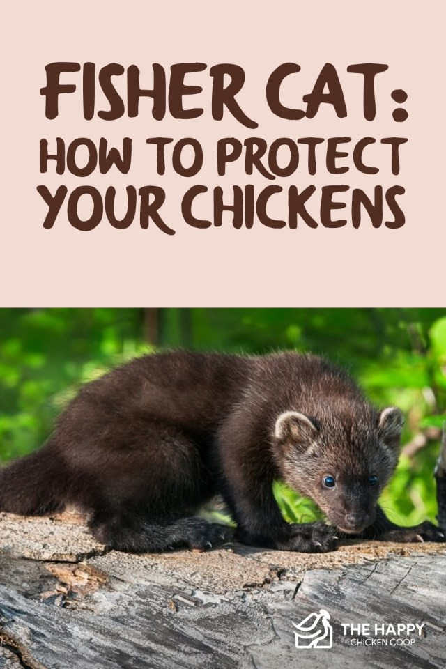Fisher Cat- How to Protect Your Chickens