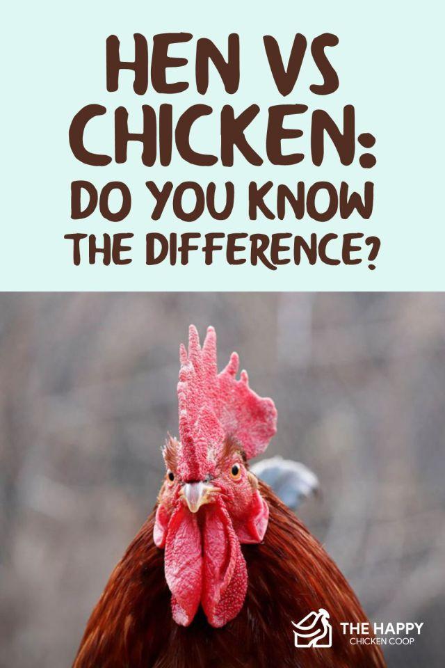 Hen Vs Chicken