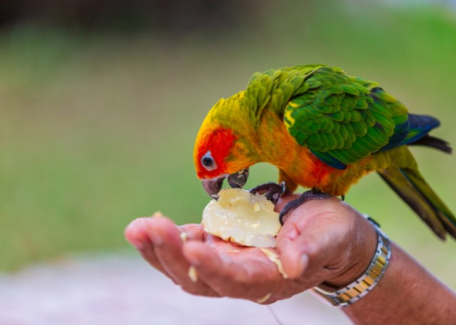 pet bird eating fruits