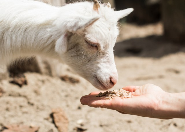 Providing goats with best nutrition