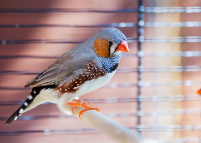 A budget-friendly Finch pet in a cage