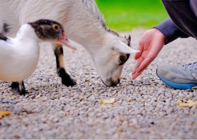 Best Goat Feed