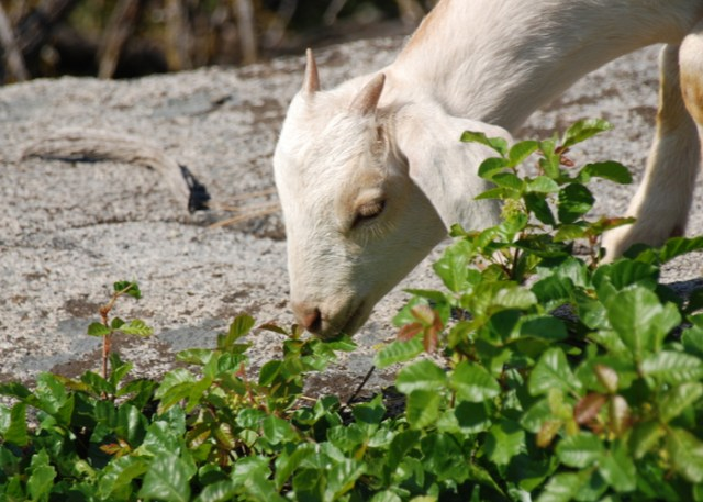 young goat grazes on poison oakyoung goat grazes on poison oak