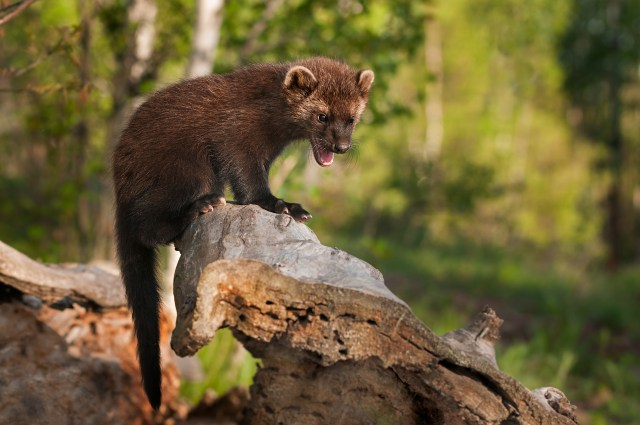 Fisher Cat on log
