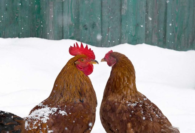 chickens in cold
