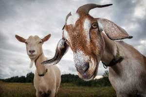 goat illnesses