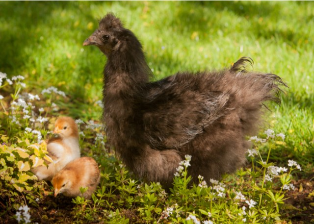 History & Background of Black Silkie Chicken Breed