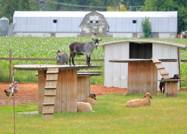 boredom buster for your goats - playground