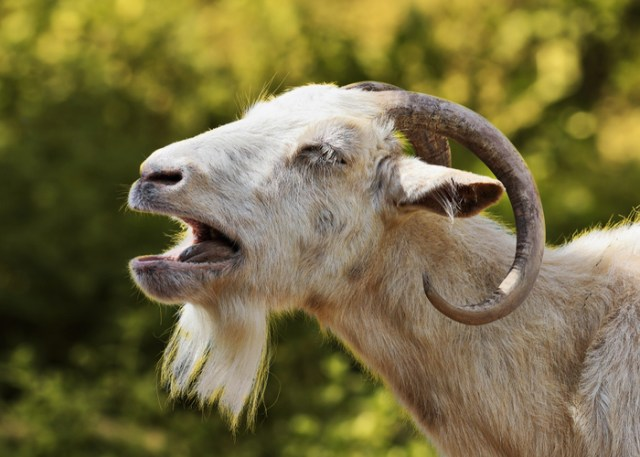 Why You Need Boredom Busters for Your Goats