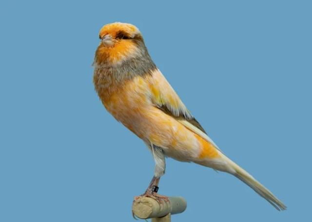 Yorkshire Canary