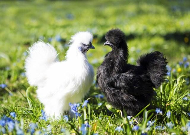Black vs White Silkie Chicken