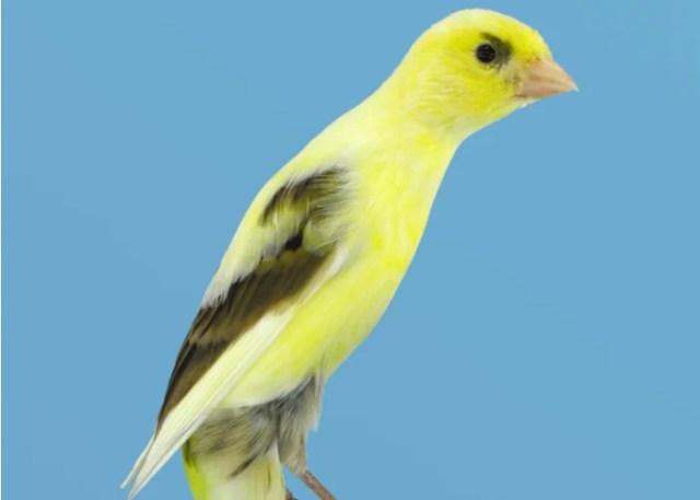 Scotch Fancy Canary