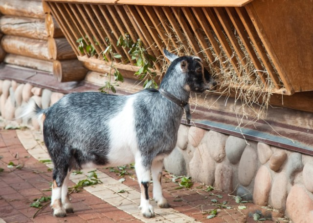 Boredom buster for goats- hay feeder