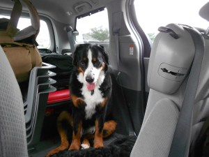 Adventure Dog Azzie - Bernese Mountain Dog