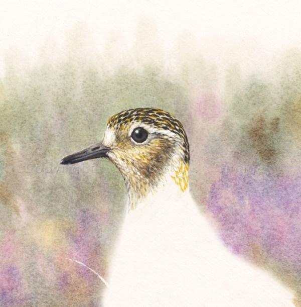 Golden Plover head © Colin Woolf