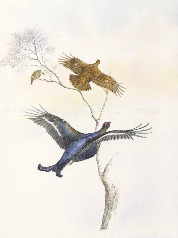 Black grouse in silver birch (1)