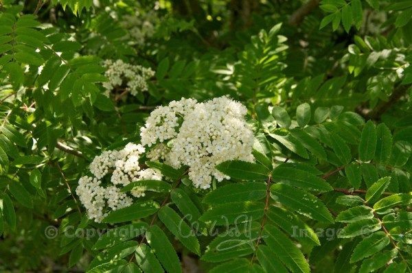 Mountain ash flowers