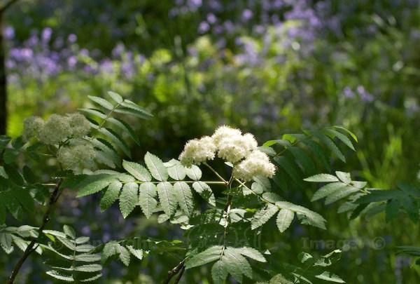 Mountain ash flowers (2)