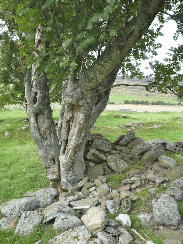 Ancient mountain ash