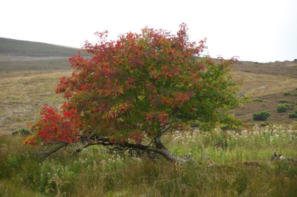 Mountain ash above Braemar
