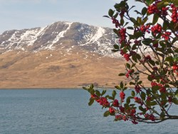 Holly tree and Loch Spelve, Isle of Mull, photographed in March 2012