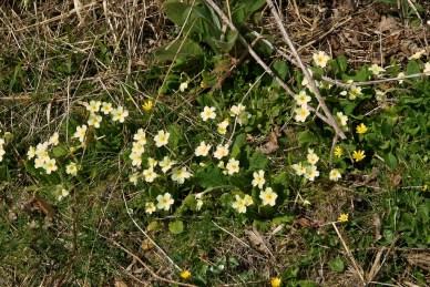 Primroses and celandines (2)