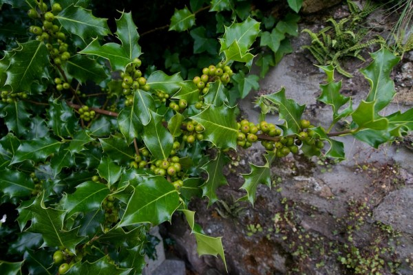 Still-green holly berries in Perthshire