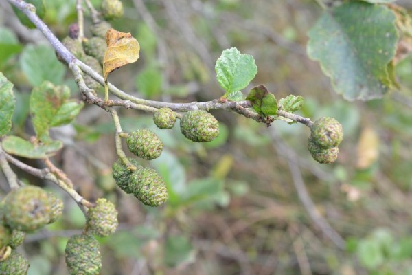 Female catkins ripening into cones. The twigs are sometimes sticky to the touch, hence the name 'glutinosa'.
