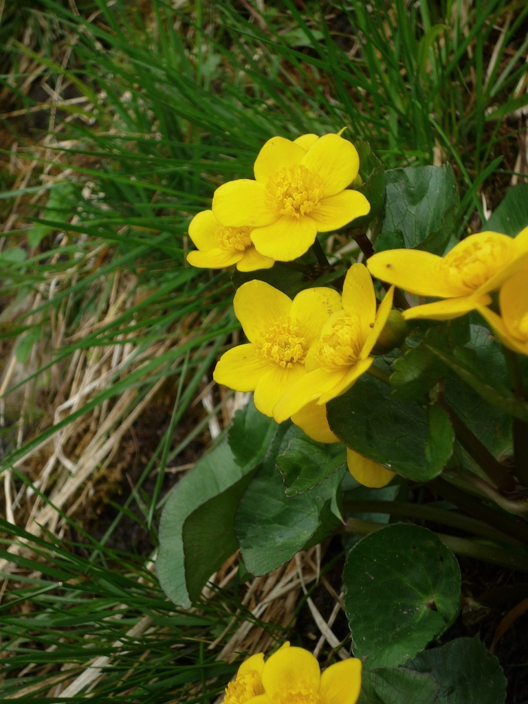 Marsh Marigold The Yellow Plant Of Beltane The Hazel Tree