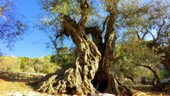 Olive trees, Lebanon (2)
