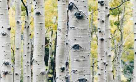 Birch Water Health Benefits & How to Use Birch Sap