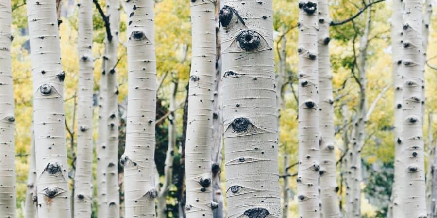Birch Water Health Benefits & How to Use Birch Sap