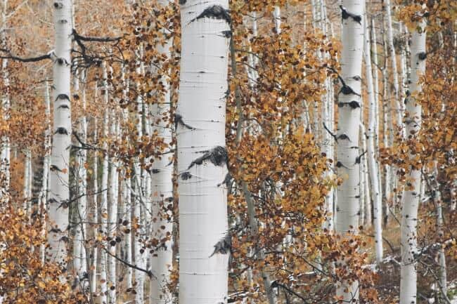 Birch Trees For Sap