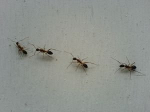 Field Ant Picture