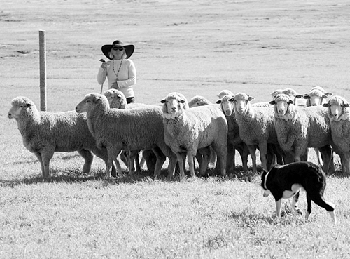 Amanda Miliken and her dog Clive, pictured on their winning run of the 2011 Meeker Classic Championship Sheepdog Trials. The Meeker Classic Championship Sheepdog Trials celebrated its 25th anniversary this year.