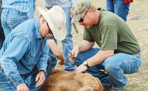 Kelly Sheridan, left and Coley Turner, right, represent the fifth generation of the Sheridan family in Meeker.  Above, the men work on a calf as they carry on the tradition of family branding.