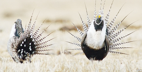 """Two male sage grouse perform the traditional """"dance"""" to attract mates."""