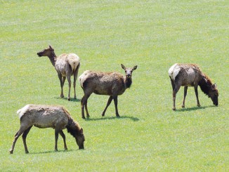 These four elk, just west of Lake Avery on Sunday, were relaxed and enjoying the beautiful green grasses available to them in the meadows and fields for several miles up County Road 8. Other groups of elk and deer were scattered through the entire White River Valley from above Buford and almost all the way into Meeker.