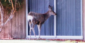 "A lone deer tries to draw the attention of Russell and Neal George outside the college president's residence on the Colorado Northwestern Community College campus in Rangely. The deer, which gets some of its meals from a nearby bird feeder, searched for movement behind the sliding glass door for several minutes, attempting to make good on the president's ""open door policy,"" to no avail."