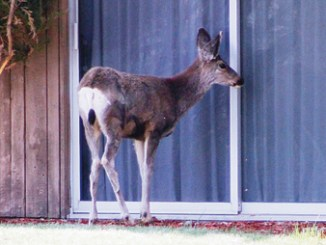 """A lone deer tries to draw the attention of Russell and Neal George outside the college president's residence on the Colorado Northwestern Community College campus in Rangely. The deer, which gets some of its meals from a nearby bird feeder, searched for movement behind the sliding glass door for several minutes, attempting to make good on the president's """"open door policy,"""" to no avail."""