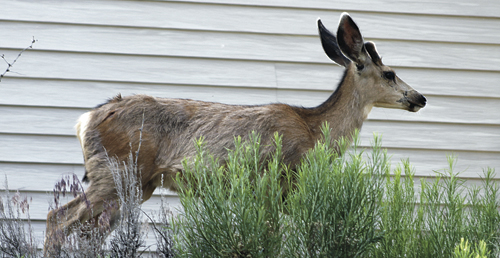 This young yearling buck, above, was seen recently taking a left onto Mesa then eating a few neighborhood wild roses early in the morning in Rangely. Not far away, below, might have been this buck's dad, with a considerably larger rack.