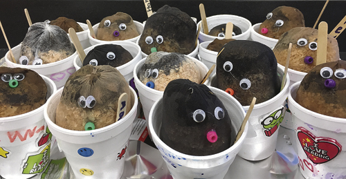 One of the kindergarten classes at Meeker Elementary School has a large number of completed chia pets ready to sprout as part of a class and personal experiment. Several facets of plant growth will emerge as learning tools for the kids.