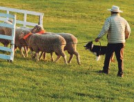 Dog and handler work together to bring the sheep into the pen. Dale Hallebach