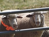 Meeker's sheep are notoriously difficult to work with, and this year's batch was no exception. Caitlin Walker