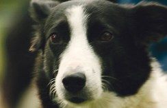 There is no other dog quite like a border collie. Dale Hallebach