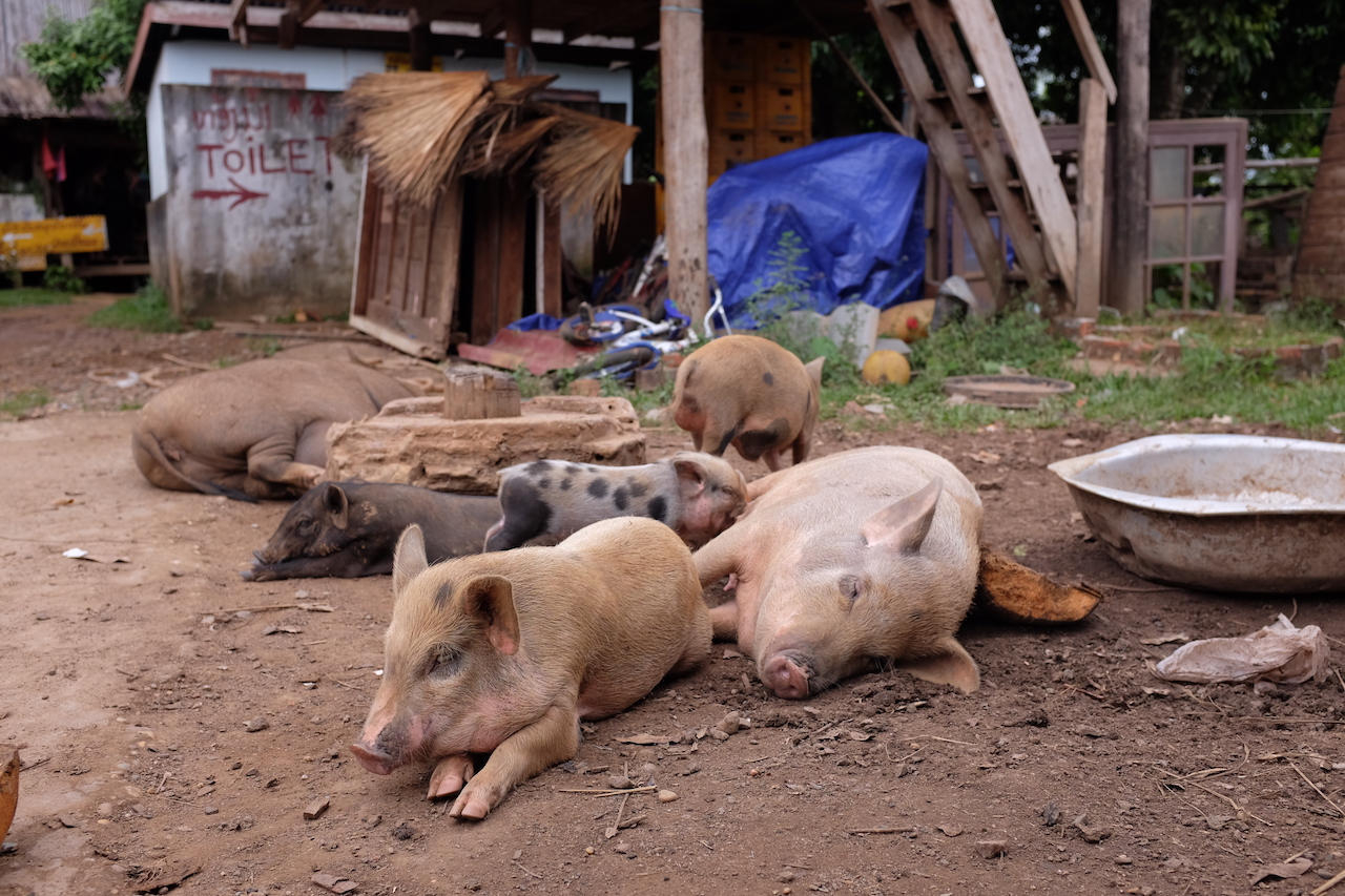 Just a bunch of pigs chilling (Tad Lo, Bolaven Plateau, Laos)