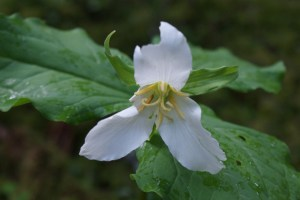 trillium baker lake forest flower hiking kids nature