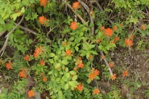 native washington flowers tumwater canyon botanical area