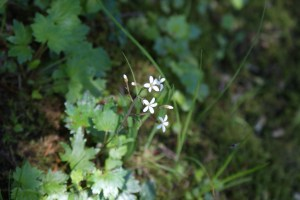 Washington native plants, white flowers, wetland plants, forest wildflowers, Boardman Lake