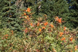 washington native plants, orange berries